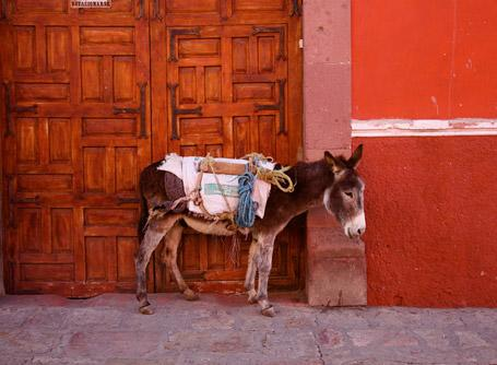 Donkey in Guadalajara, Mexico